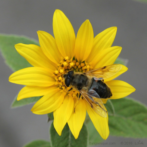 Sunflower 3 (with bee)